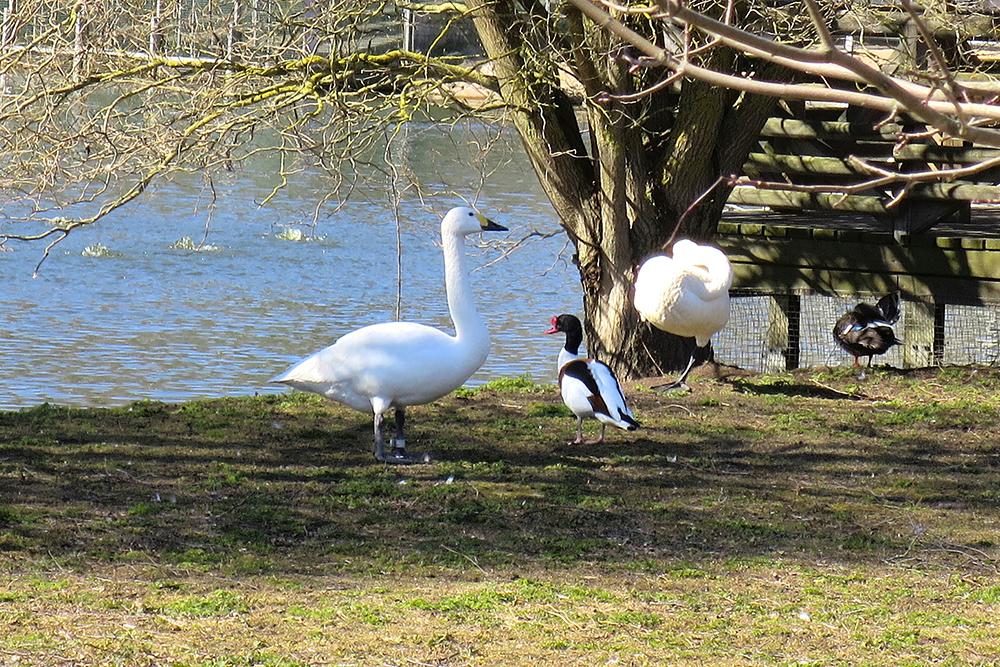 Melkoisesta kokoerosta huolimatta ristisorsa ja pikkujoutsen viihtyvät tiiviisti yhdessä Tallinnan eläintarhassa.