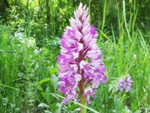 Luonnon orkideoita voi monissa paikoissa ihailla myös teiden varsilla. Tämä soikkokämmekkä on kuvattu Matsalun kansallispuistossa.