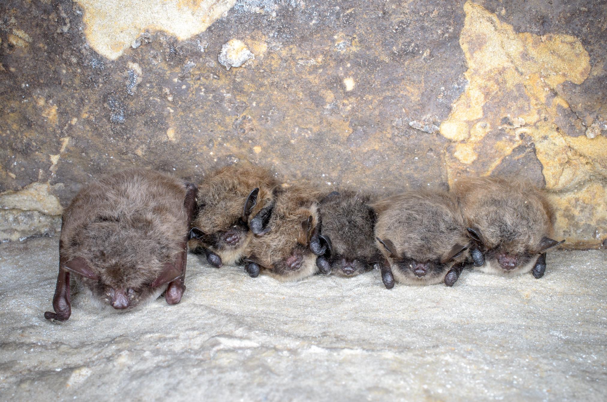 Kylki kyljessä, sulassa sovussa. Osa lepakoista viettää talven luolassa, kellarissa tai muussa sopivassa paikassa. Kuvassa on lampisiippa ja isoviiksisiippoja.