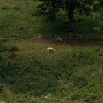 Lampaat Viljandissa